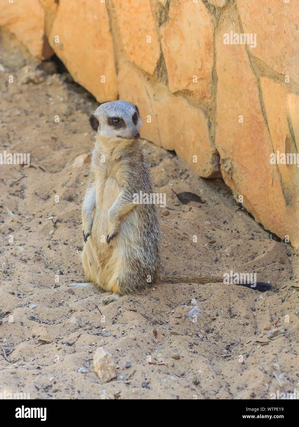 Meerkat Relaxing On Field Stock Photo