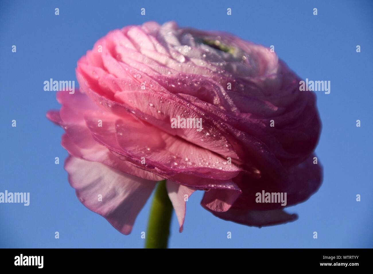 Close-up Of Wet Flower - Stock Photo