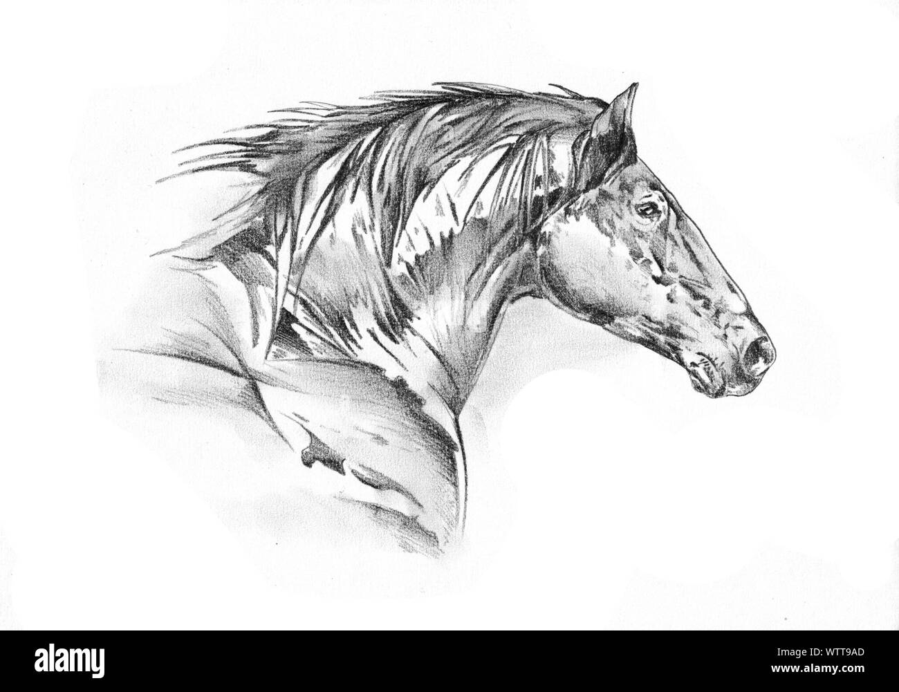 Freehand Horse Head Pencil Drawing Stock Photo Alamy