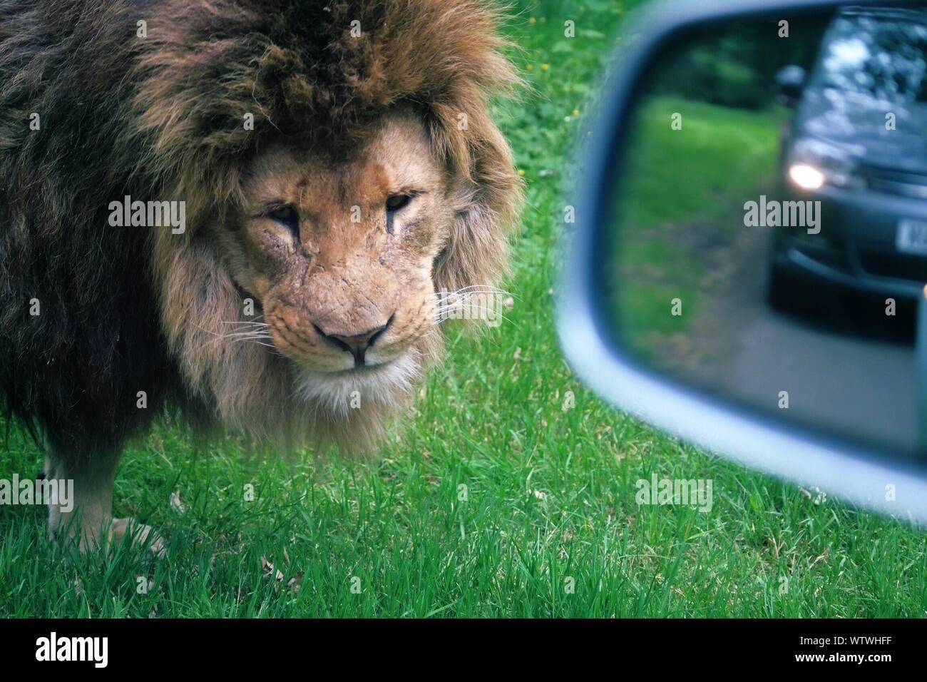 Mirror cat lion What do