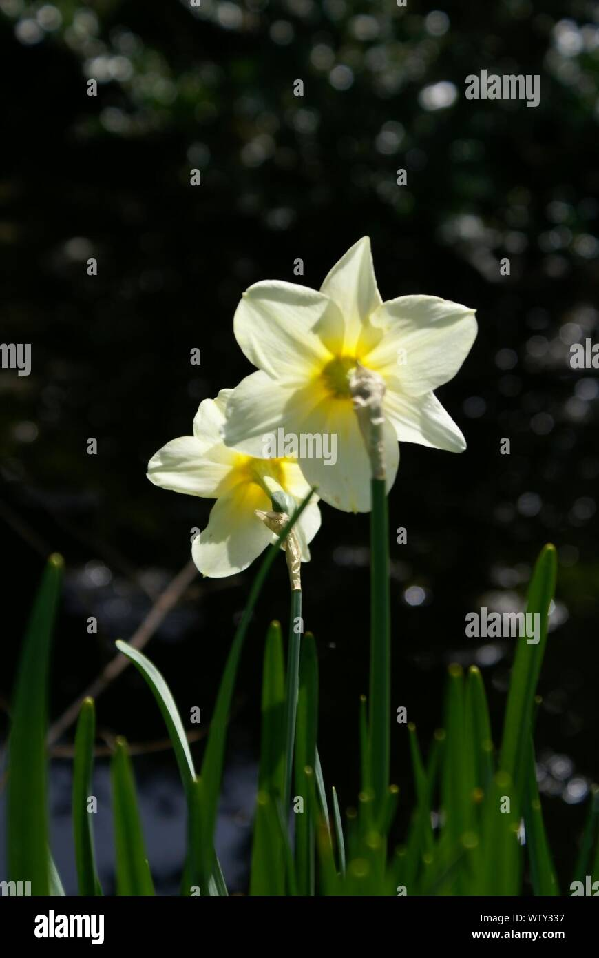 White Daffodil Flowers Stock Photo