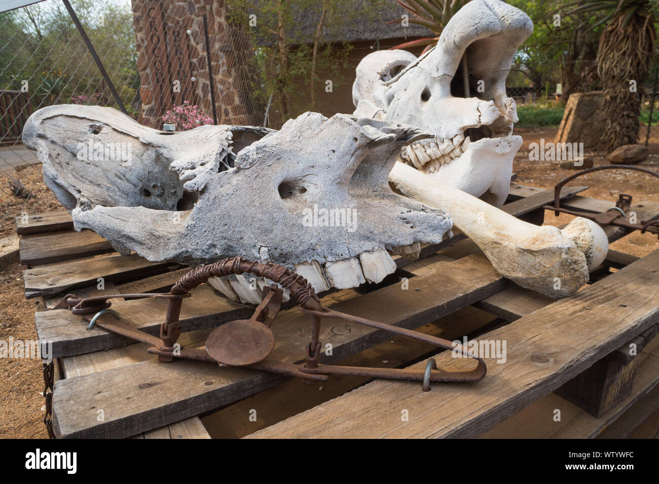 Rhinoceros or Rhino fossilised bone and skulls together with rusty or rusted traps in an exhibit at Crocodile Bridge,Kruger National Park,South Africa Stock Photo