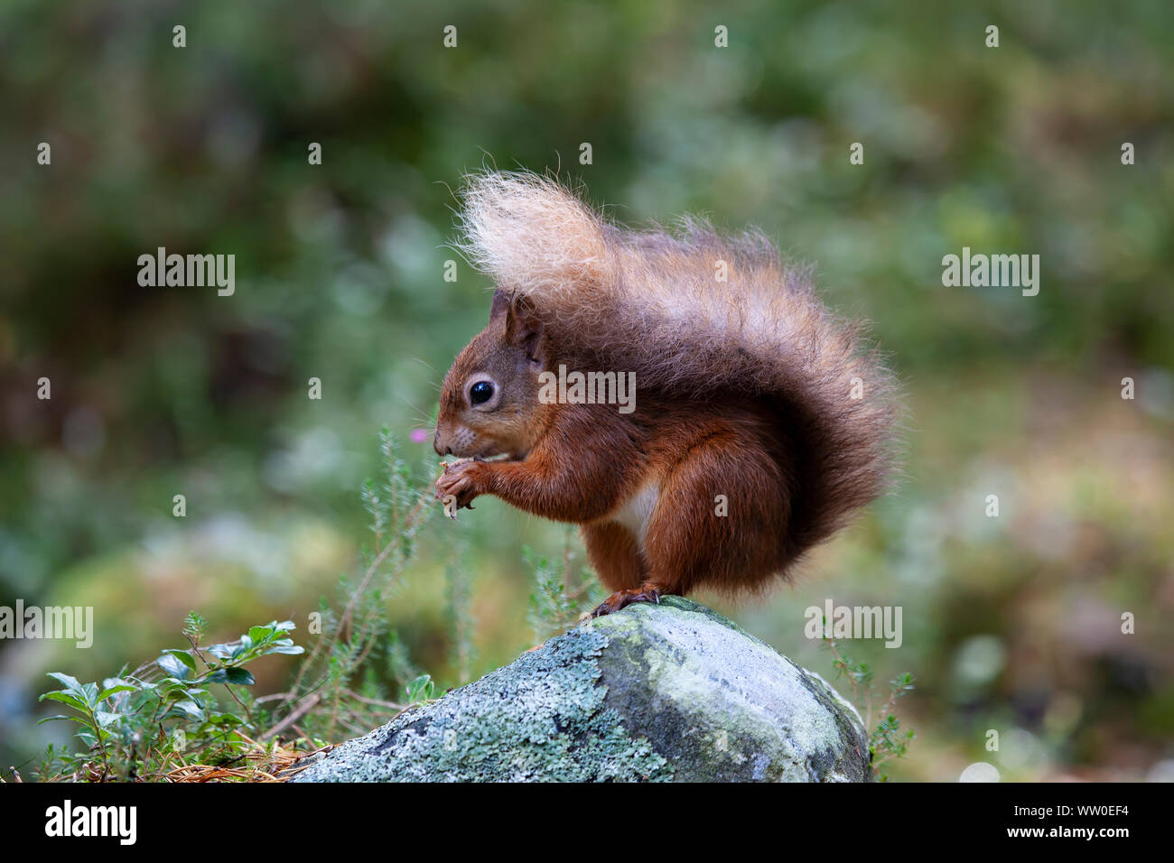 Close up of a red squirrel Sciurus vulgaris sitting on a small stone and eating a nut in Scotland Stock Photo