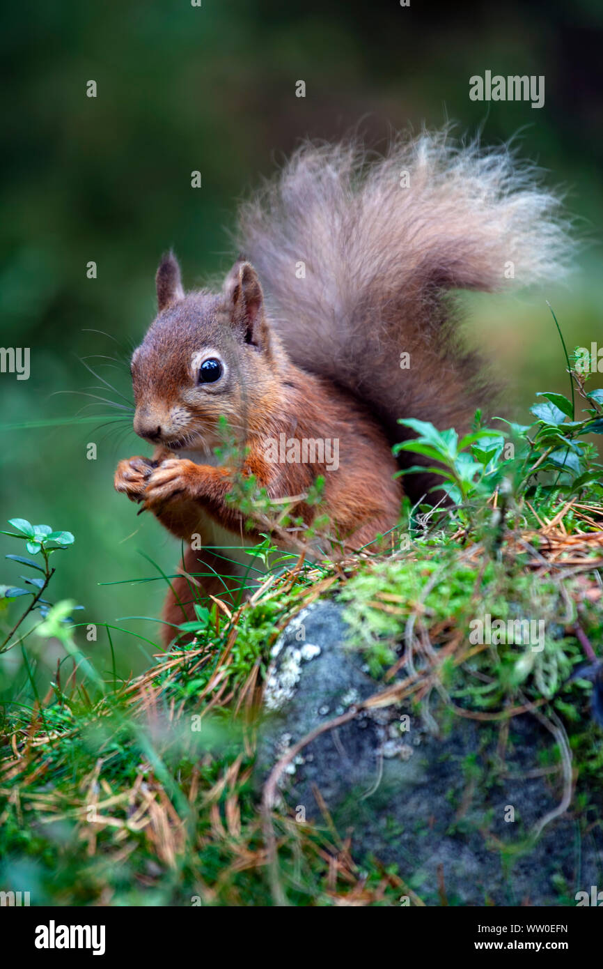 Portrait of a red squirrel Sciurus vulgaris with a bushy tail eating a nut on the forest floor in Scotland Stock Photo