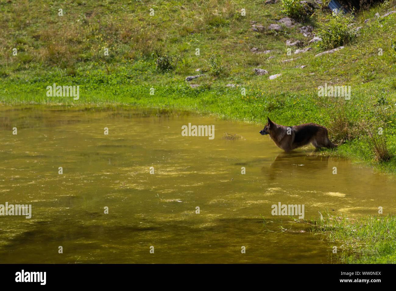 Beauty German shepherd dog in a mountain pond Stock Photo