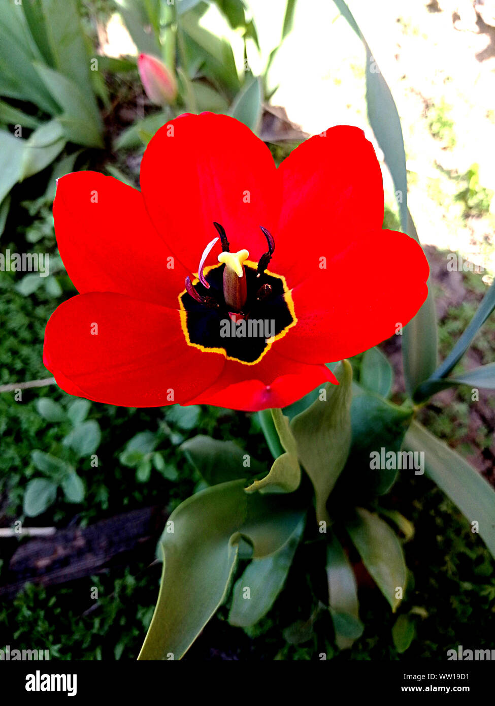 red open Tulip with black middle on blurred background Stock Photo