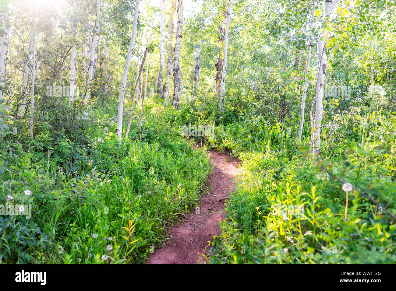 Forest sunlight on Sunnyside Trail in Aspen, Colorado in Woody Creek neighborhood in early 2019 summer with wildflowers and dirt road path Stock Photo