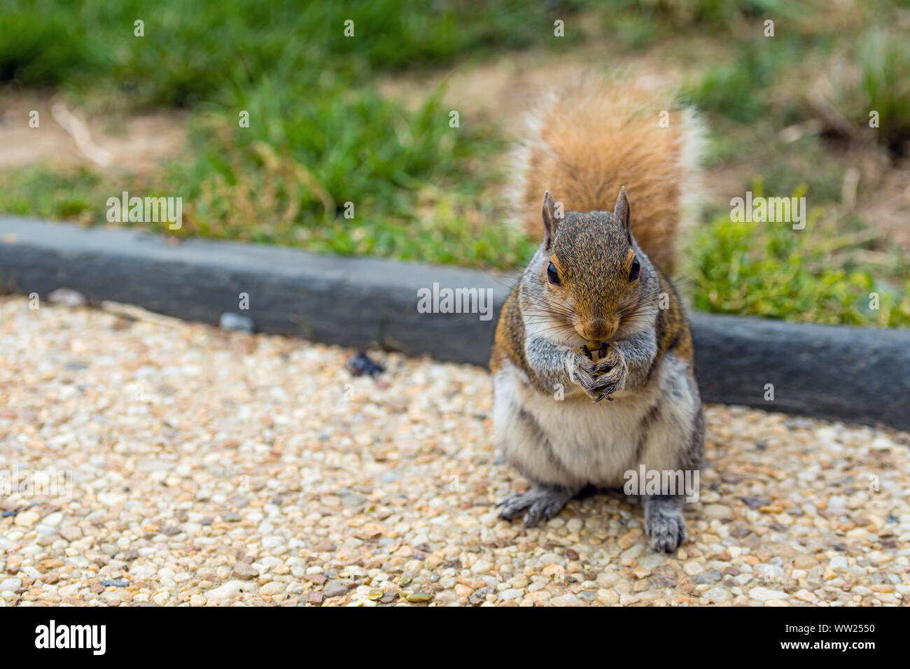 A squirrel in a park at Capitol Hill Grounds Stock Photo