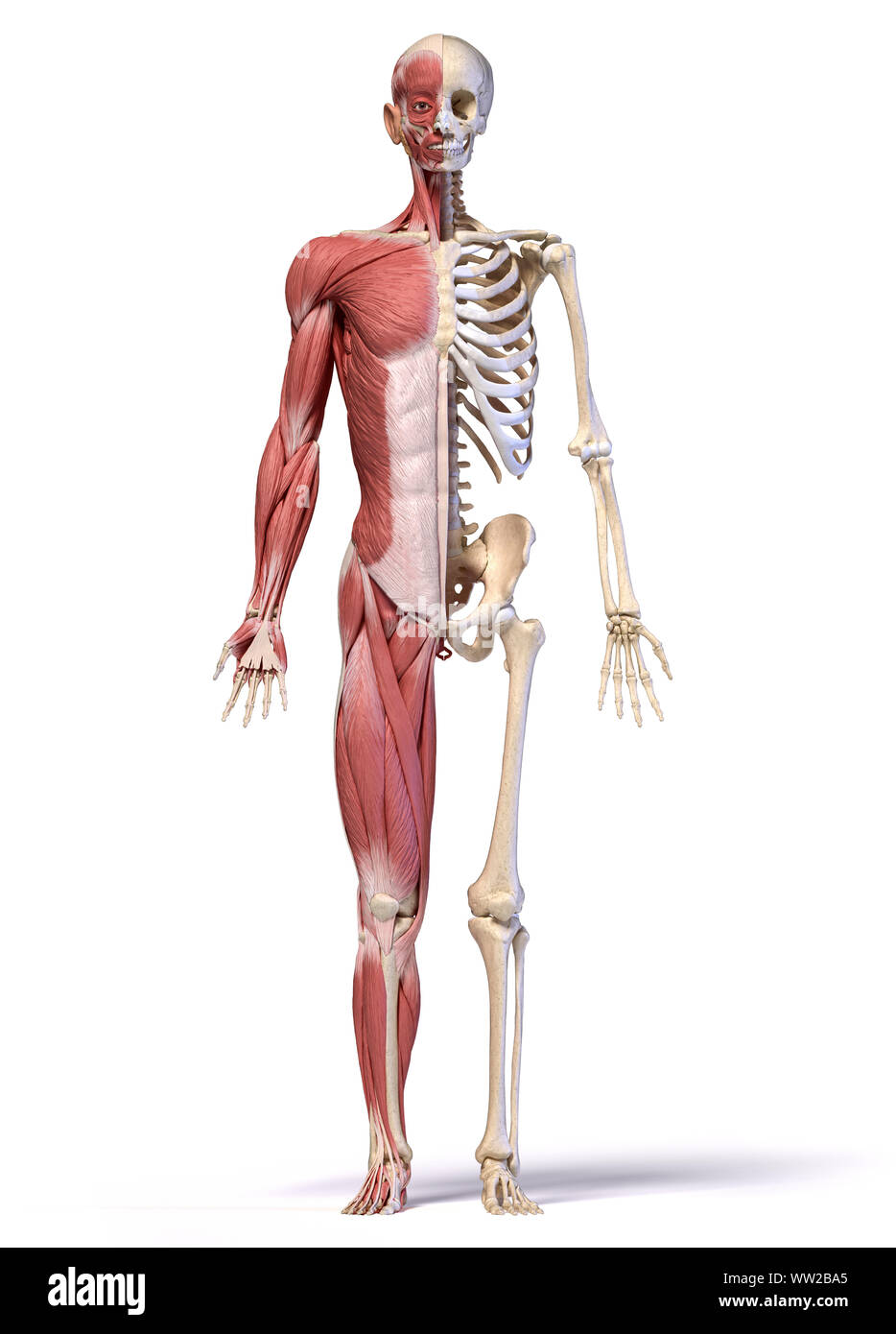 Human body, 3d illustration. Full figure male muscular and skeletal systems, front view on white background. Stock Photo