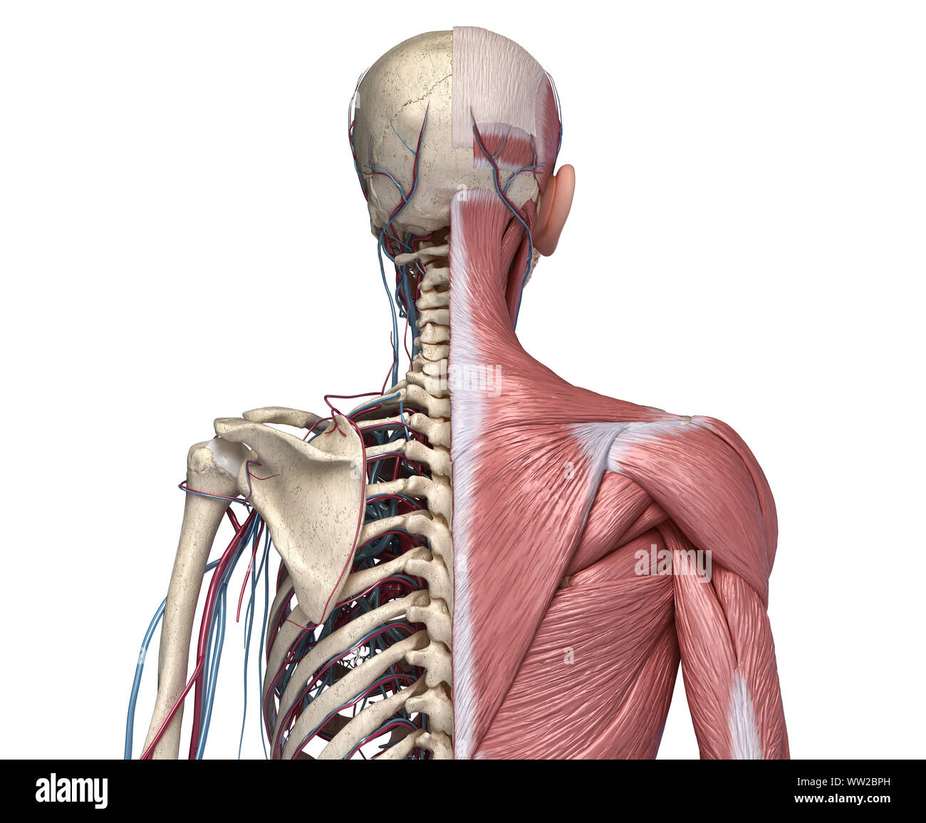 Human Anatomy Torso Skeleton With Muscles, Veins And