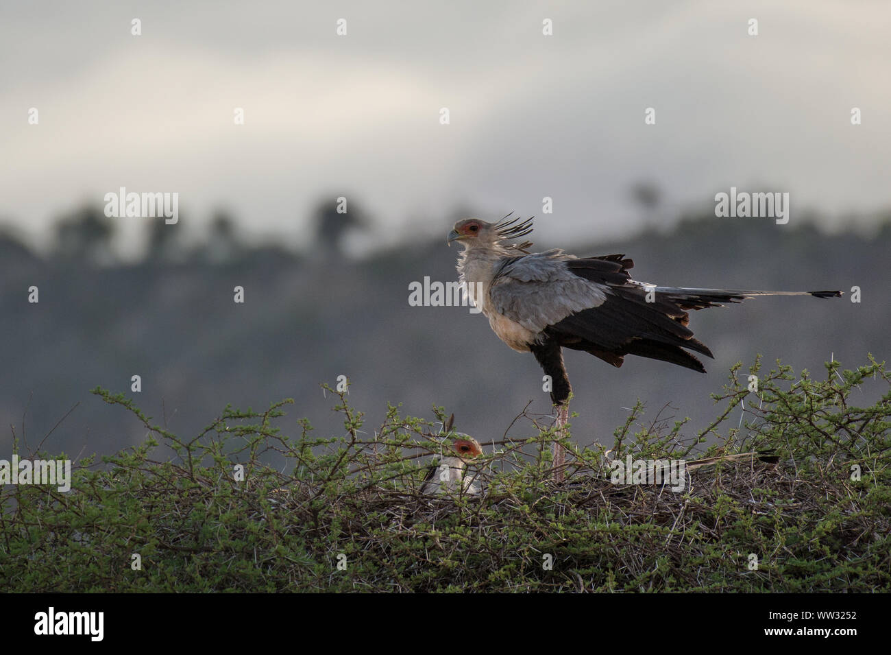 Nest of Secretarybird or secretary bird, Sagittarius serpentarius,  Sagittariidae, Tsavo East National Park, Kenya, Africa Stock Photo