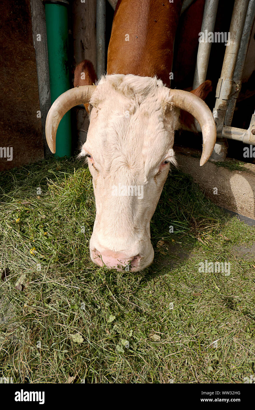 A cow eats fresh grass at the stable of an organic farmer Stock Photo