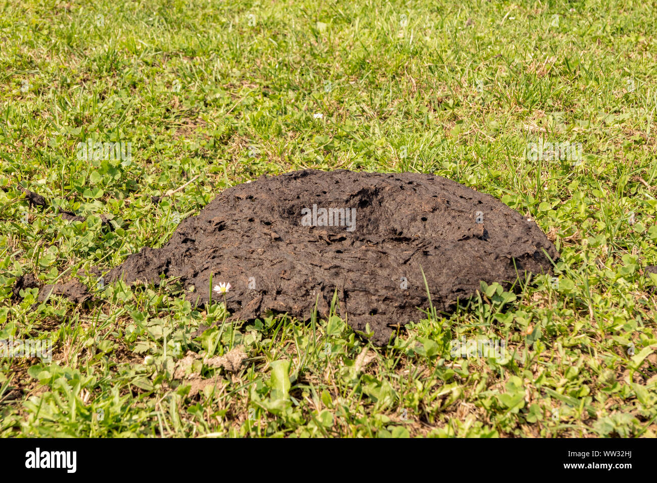 Cow dung on the meadow with maggots Stock Photo