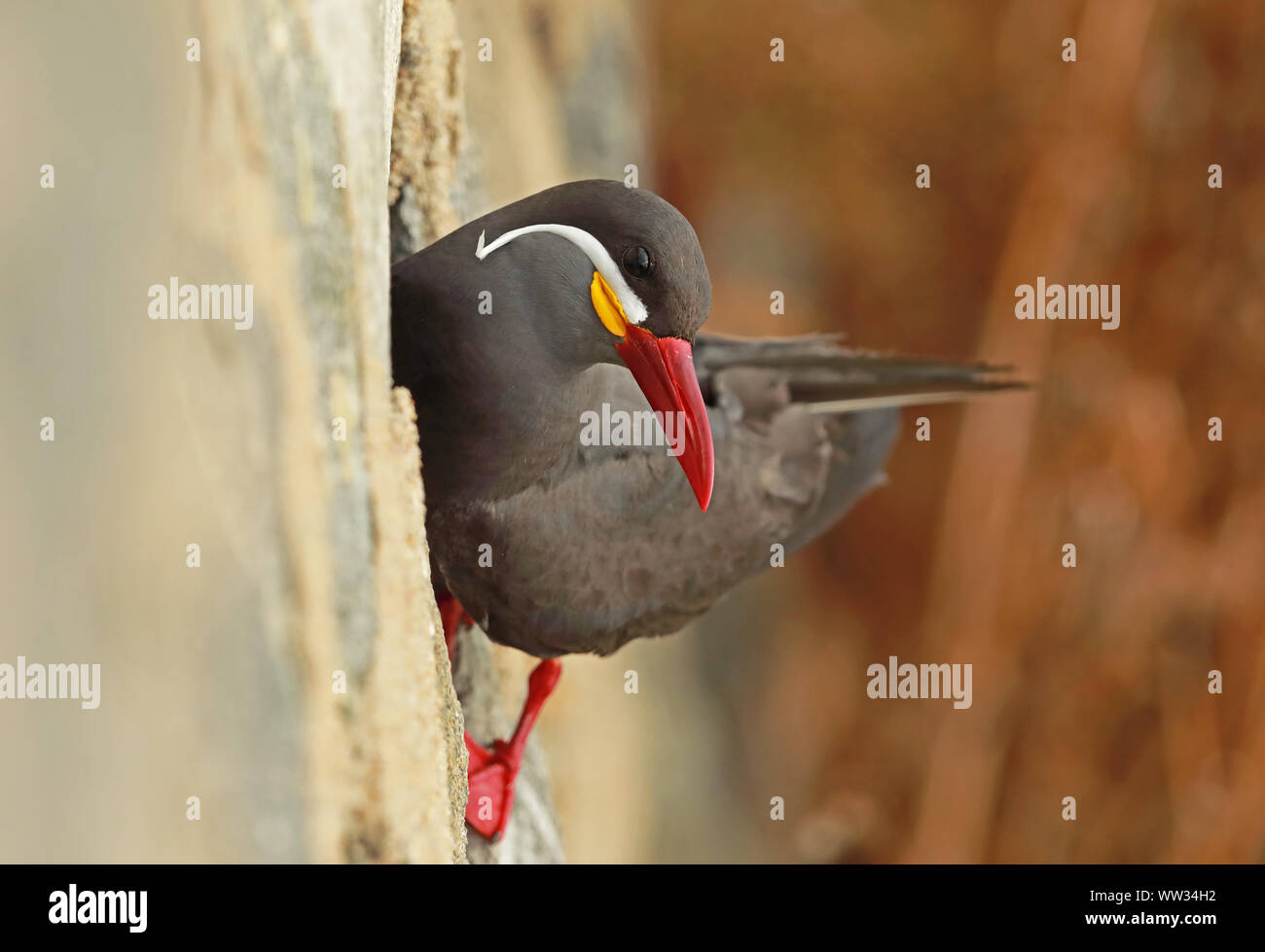 Inca Tern (Larosterna inca) adult on cliff   Chile         January Stock Photo