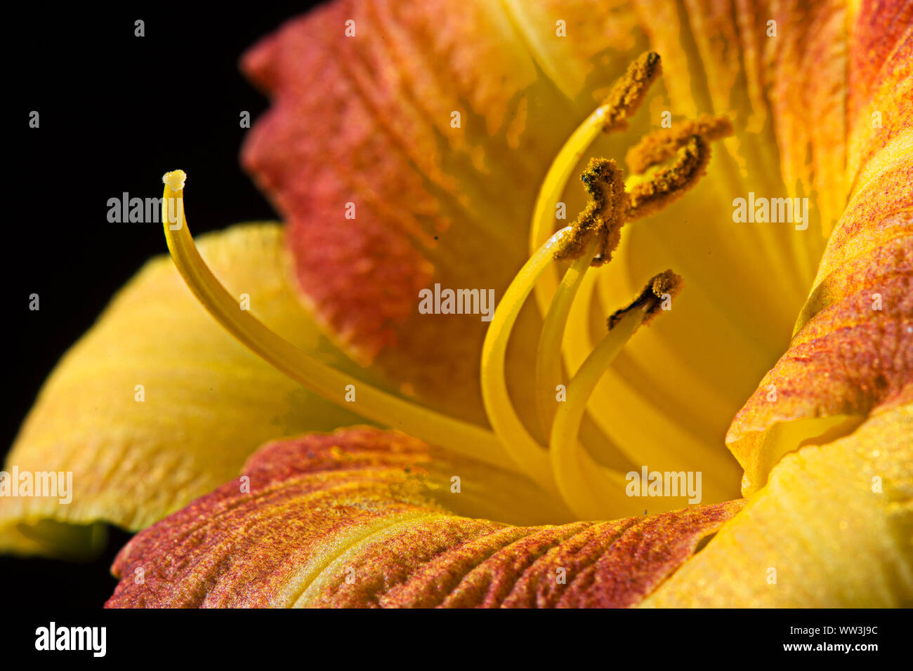 Close up macro image of day lily in full bloom. Polination taking place. Stock Photo