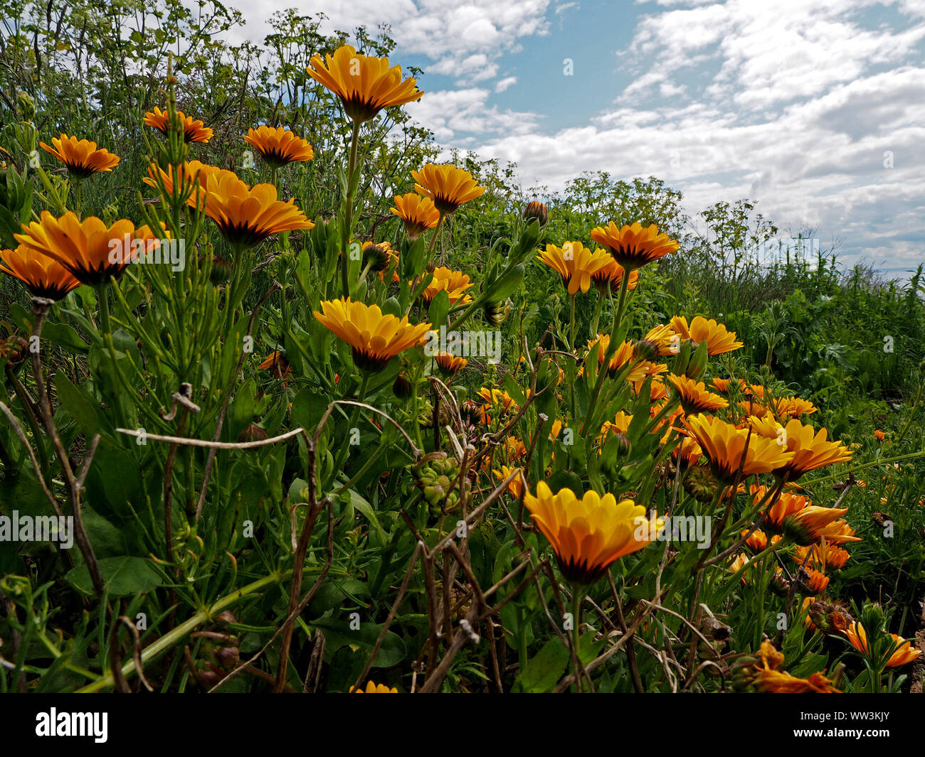 close-up view of a host of bright golden yellow flowers on grassy bank below dramatic sky near Pittenweem, East Neuk,Fife,Scotland,UK Stock Photo