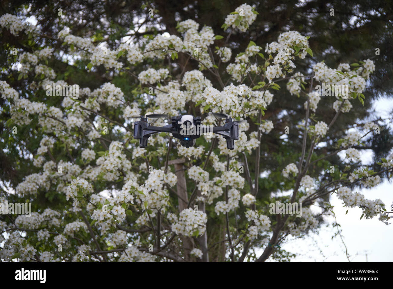drone flying in a pear tree in the bloom Stock Photo