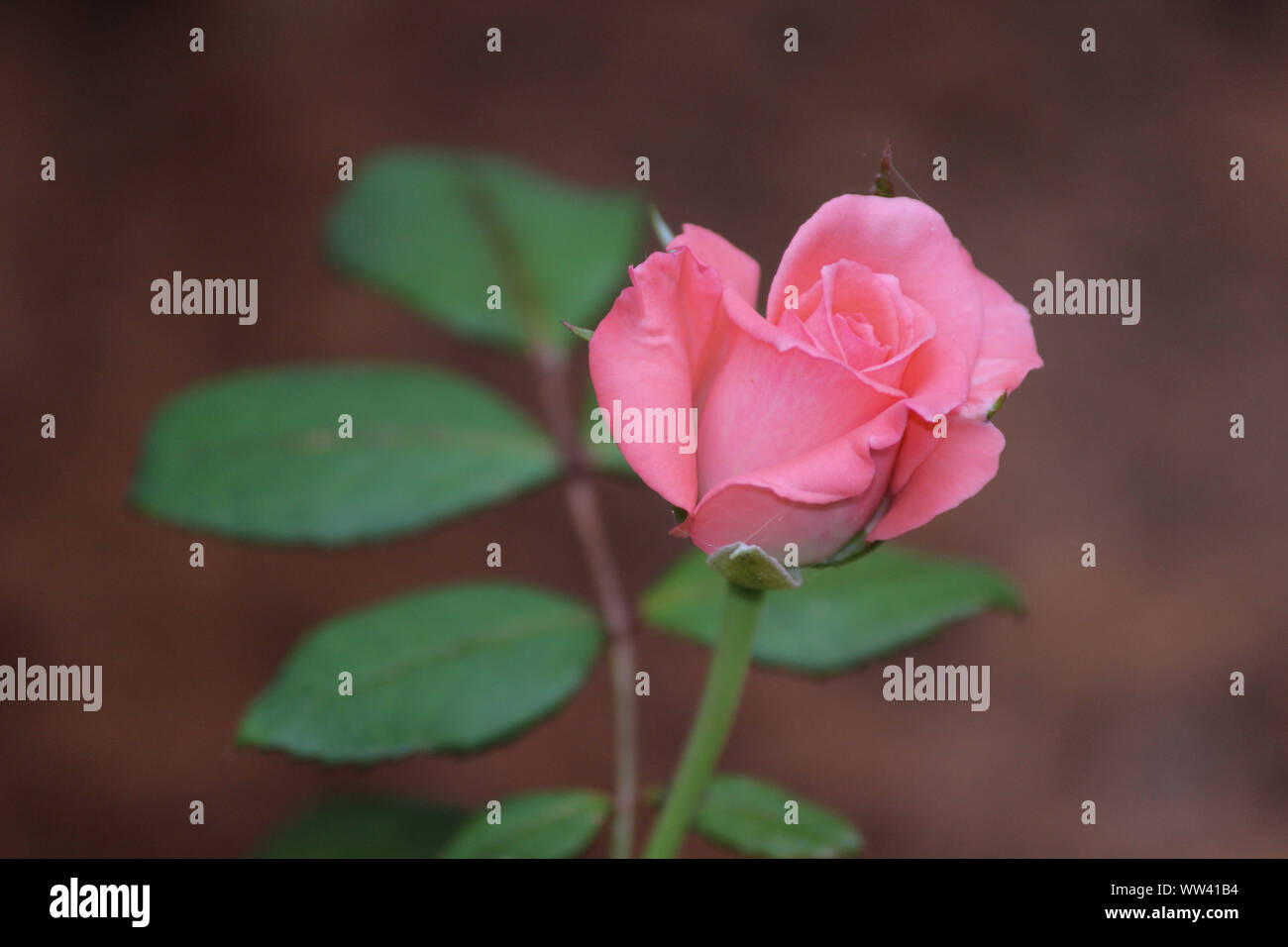 THE PINK ROSE FLOWER Stock Photo