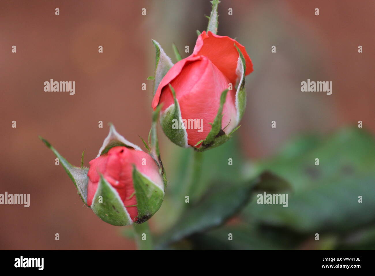 THE PINK COLOUR ROSE BUDS Stock Photo