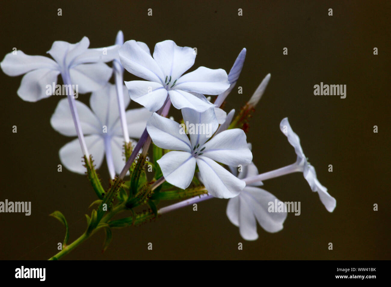 MILKY WHITE BUDS AND FLOWERS Stock Photo