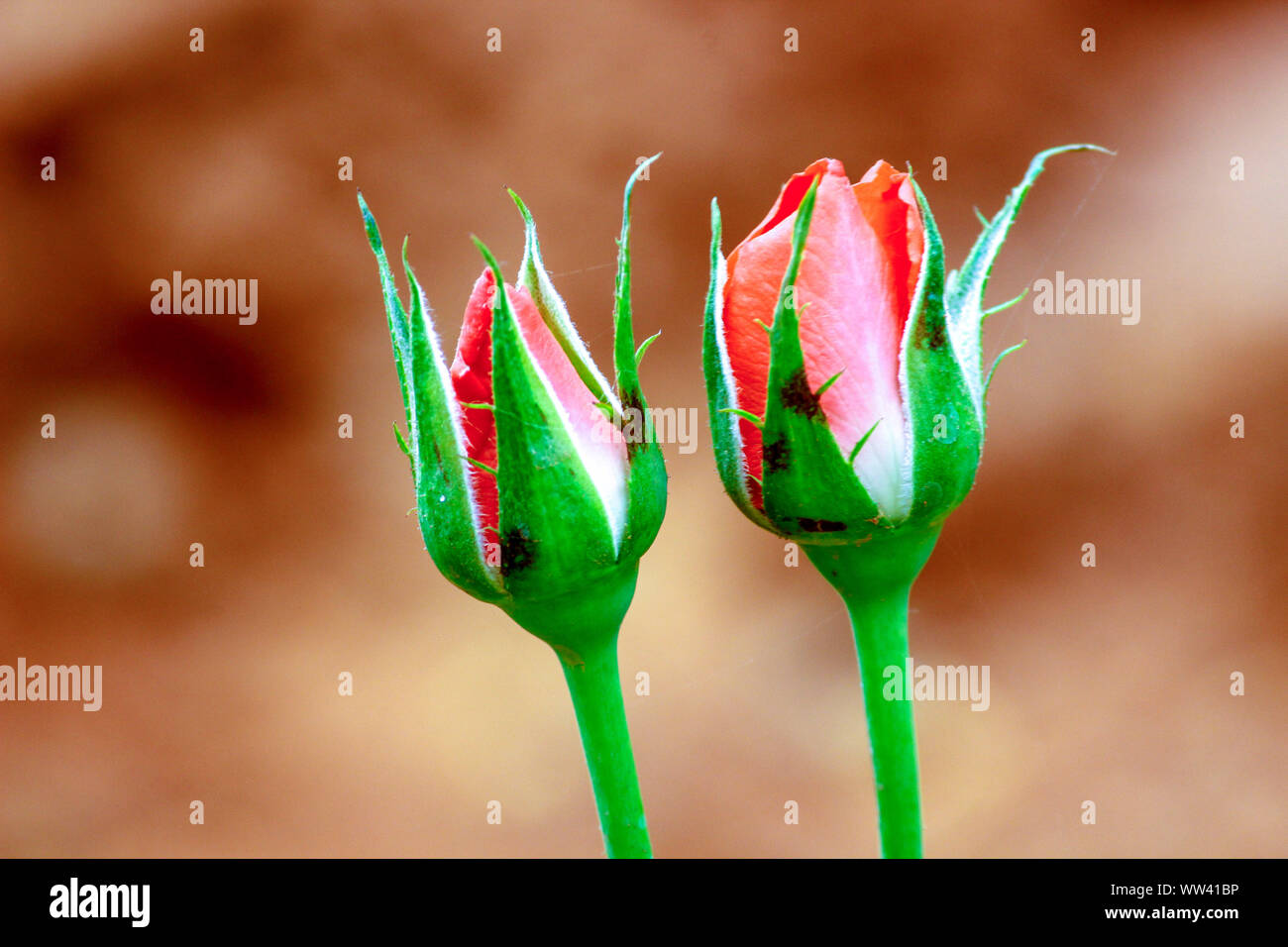 PINK ROSE BUDS Stock Photo
