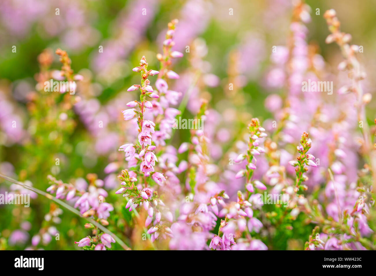 Blossom wild heather on upland meadow. Close up macro shoot with shallow DOF Stock Photo
