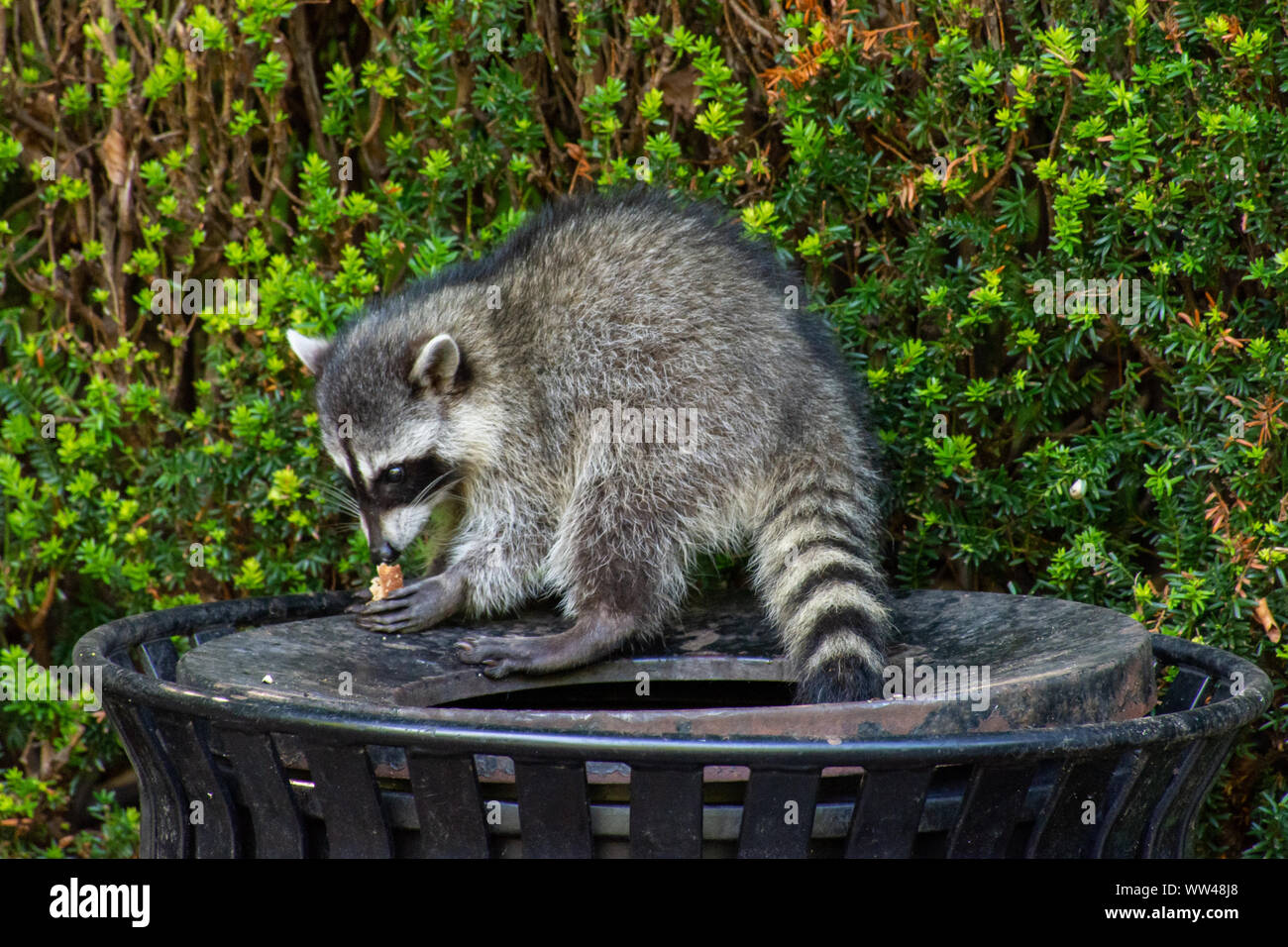 Raccoon Garbage Can High Resolution Stock Photography And Images Alamy