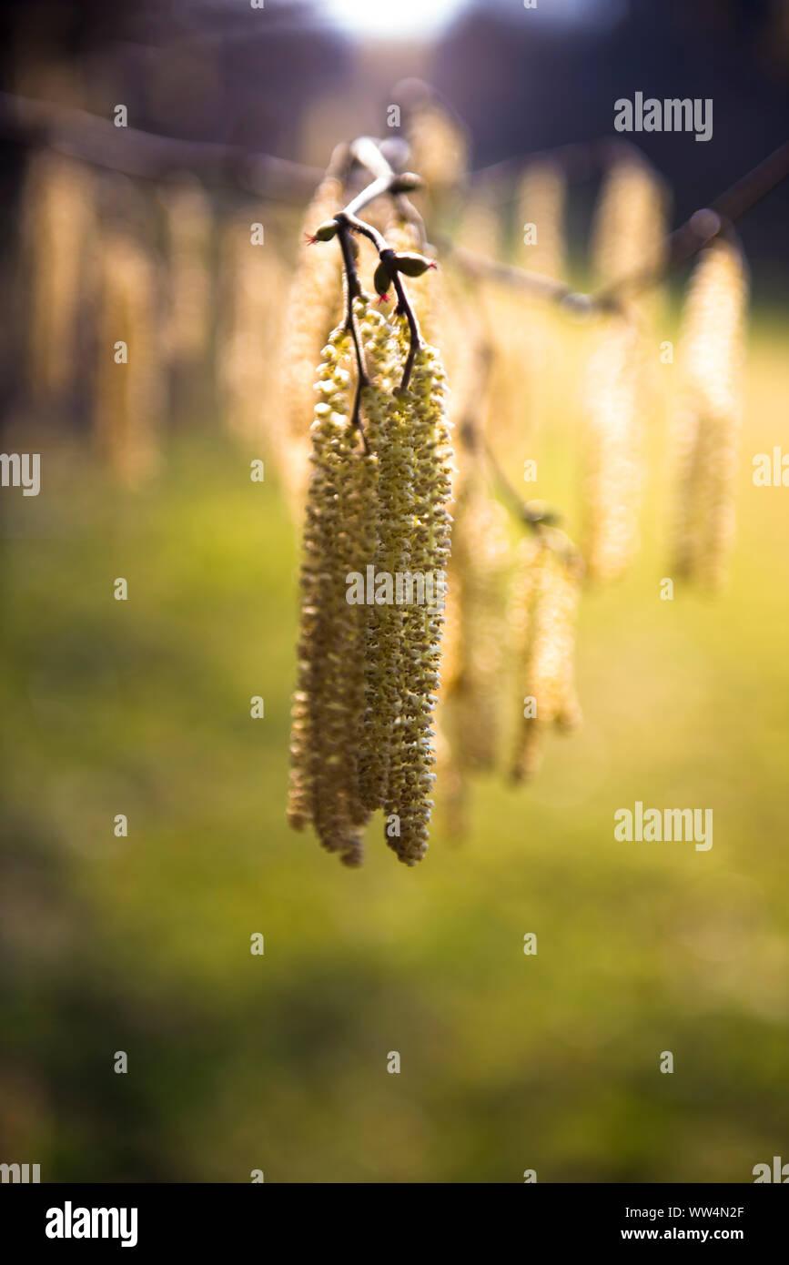 Hazelnut catkin Stock Photo