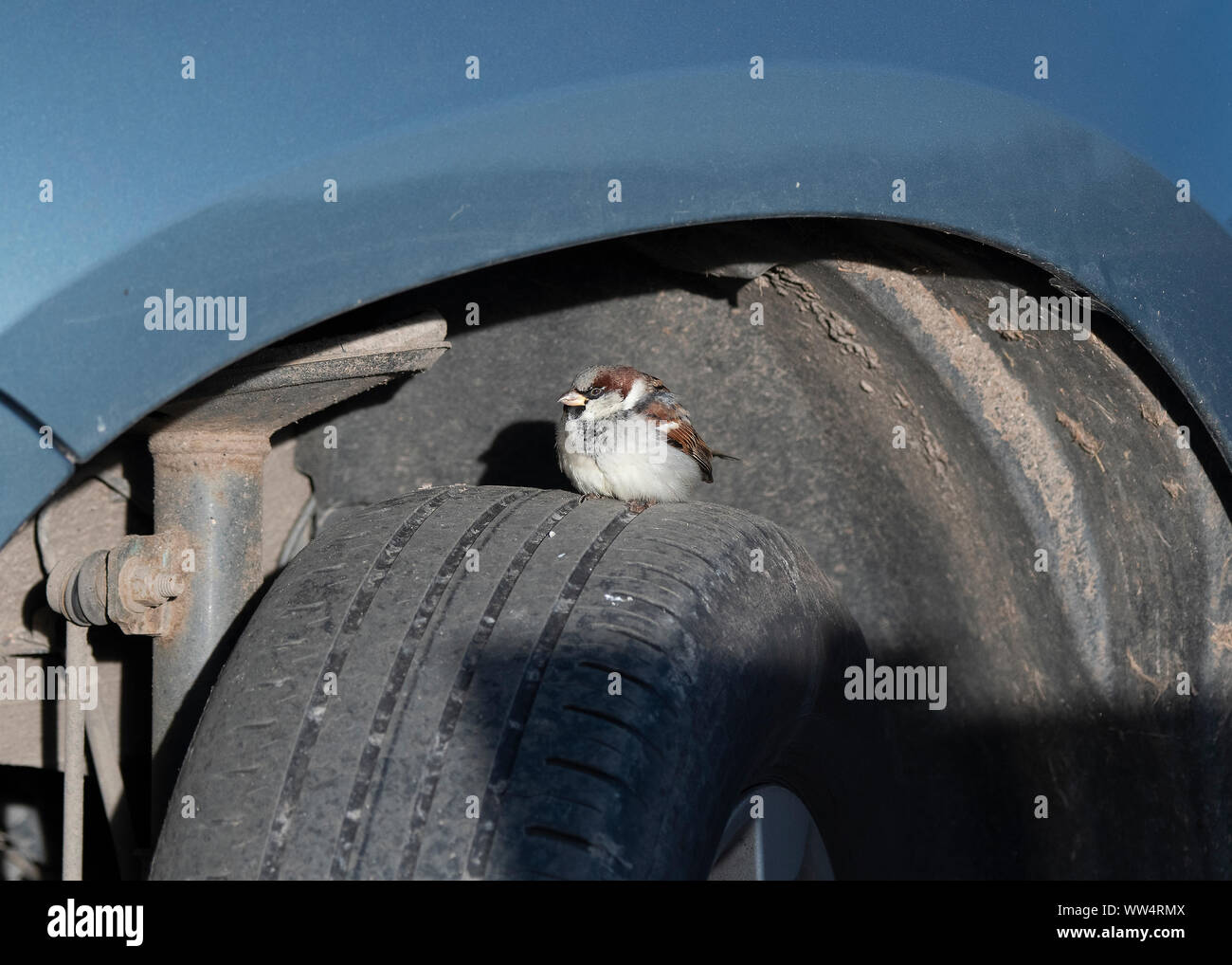 House sparrow (Passer domesticus) sitting on wheel of a car, Mersehead RSPB Reserve, Dumfries, SW Scotland Stock Photo