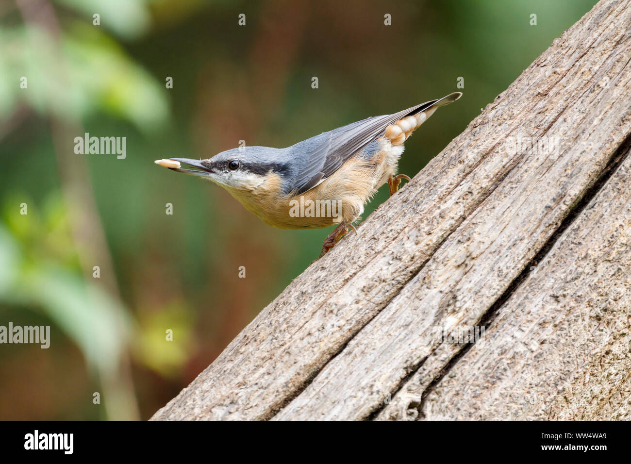 Nuthatch (Sitta europaea) hiding seeds in crevices. Blue grey upperparts buff underparts  chestnut flanks long black bill and black stripe through eye Stock Photo