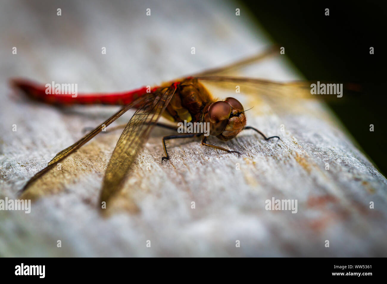 The Red Dragonfly, also known as Red-Veined Darter or Nomad is technically known as Sympetrum Fonscolombii, and belongs to the Sympetrum genus Stock Photo