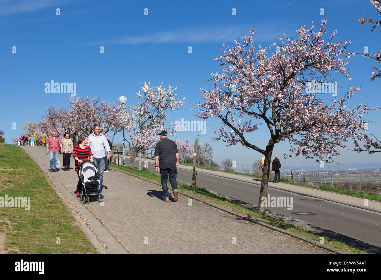 Almond blossom, Gimmeldingen, near Neustadt an der Weinstraße, German Wine Route, Rhineland-Palatinate, Germany Stock Photo