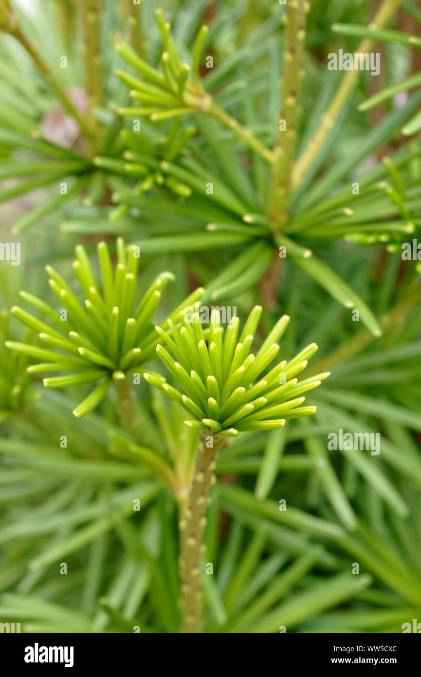 Close-up of the branches and needles of the Japanese umbrella-pine, Stock Photo