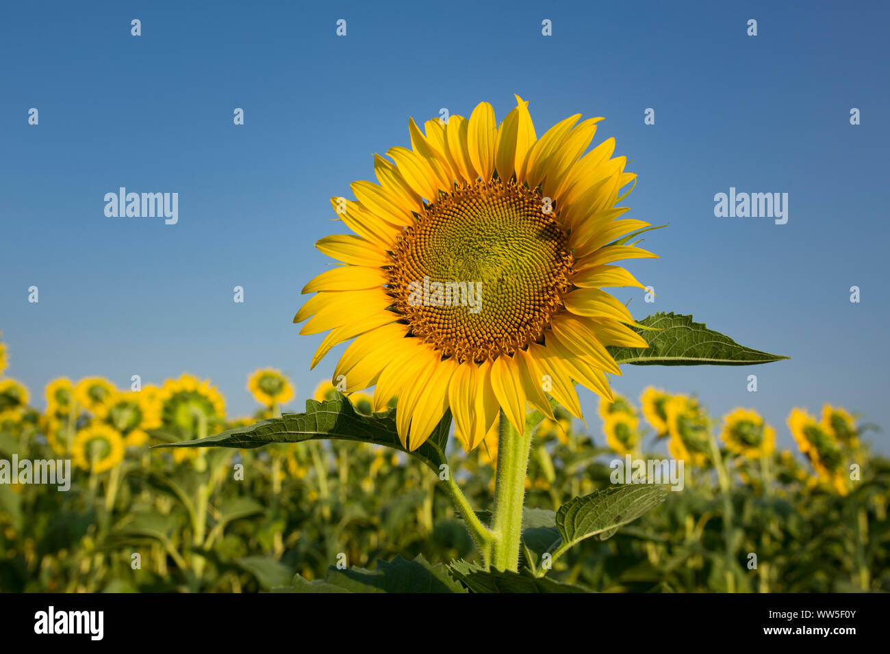 Single sunflower, in the background turned away sunflowers with blue sky Stock Photo