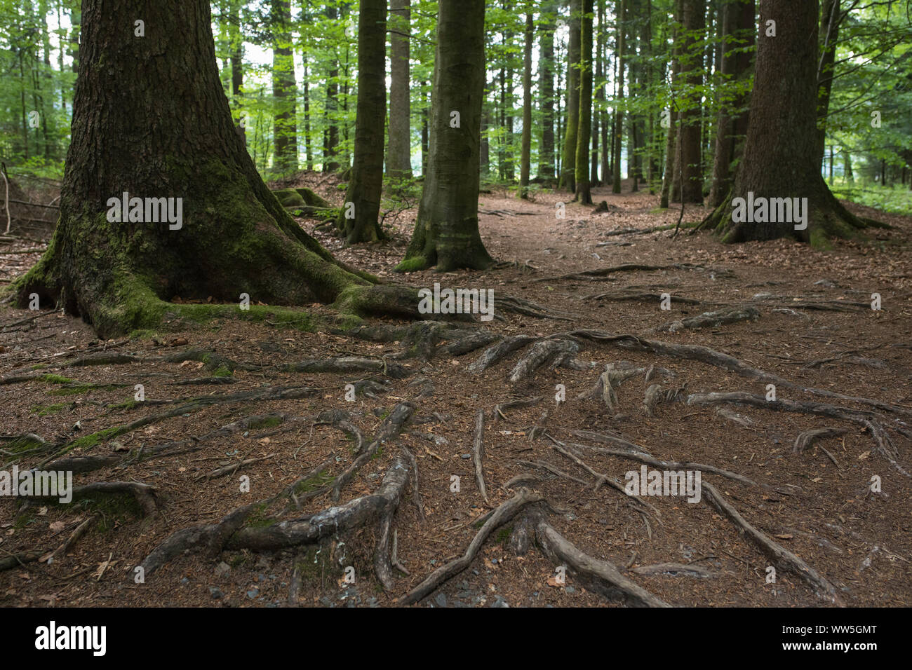 """Trees and roots in national park forest """"Bayerischer Wald"""", Bavaria, Germany Stock Photo"""