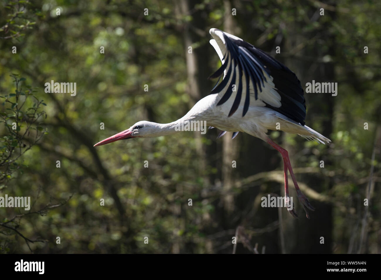 White stork, Ciconia ciconia, flying up Stock Photo
