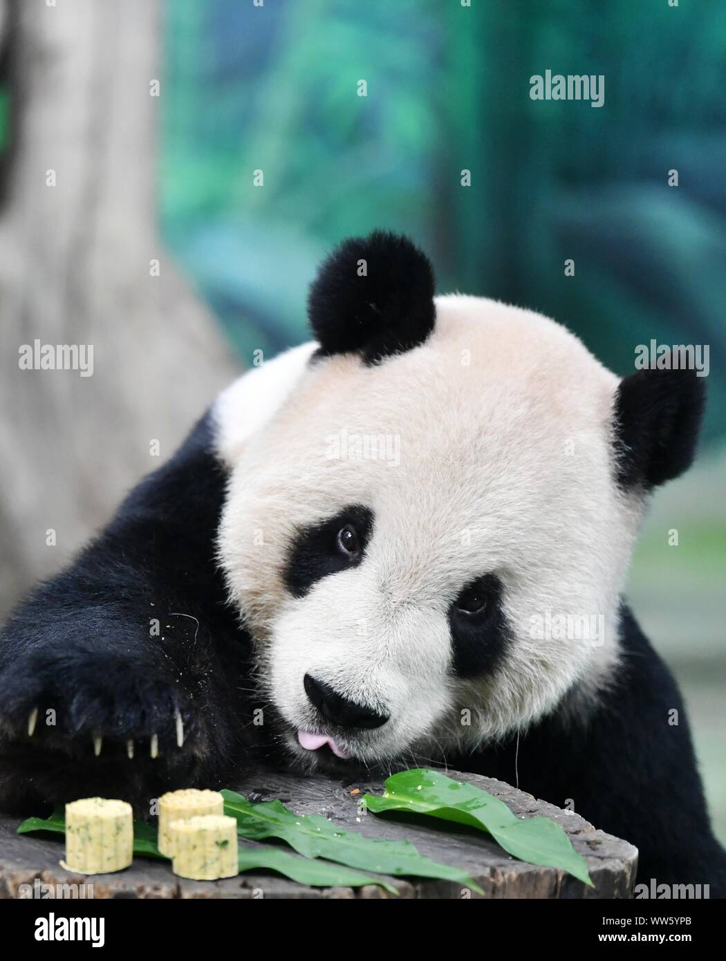 Taipei's Taiwan. 13th Sep, 2019. Giant panda Tuantuan tastes specially-made mooncakes at Taipei Zoo in Taipei, southeast China's Taiwan, Sept. 13, 2019. Mooncakes and skewered fruits and vegetables were specially made by the staff of Taipei Zoo for giant pandas to celebrate the the Mid-Autumn Festival. Credit: Chen Bin/Xinhua/Alamy Live News Stock Photo