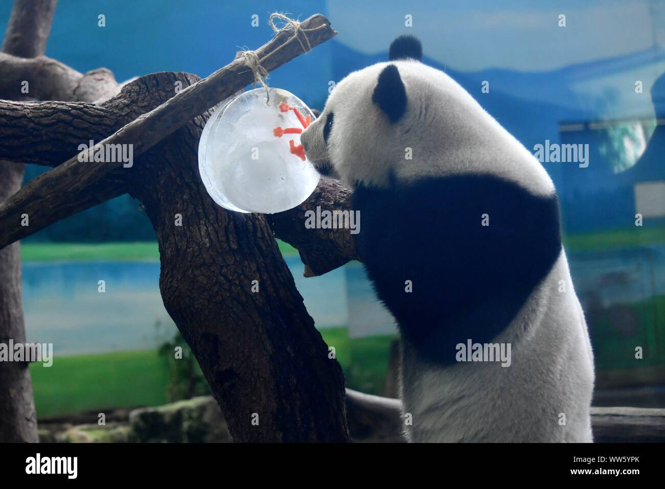 Taipei's Taiwan. 13th Sep, 2019. Giant panda Yuanzai tastes a piece of ice in the shape of mooncake at Taipei Zoo in Taipei, southeast China's Taiwan, Sept. 13, 2019. Mooncakes and skewered fruits and vegetables were specially made by the staff of Taipei Zoo for giant pandas to celebrate the the Mid-Autumn Festival. Credit: Chen Bin/Xinhua/Alamy Live News Stock Photo