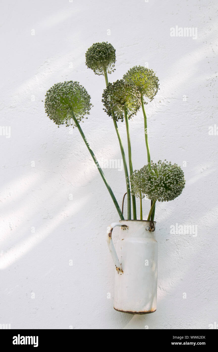 Round-headed leek blossoms in rusty milk churn Stock Photo