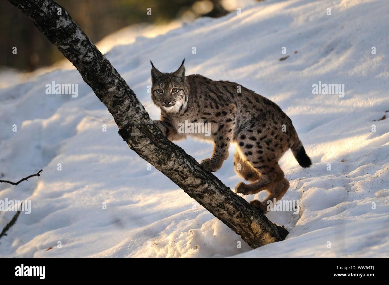 Eurasian lynx in the snow, Lynx lynx Stock Photo