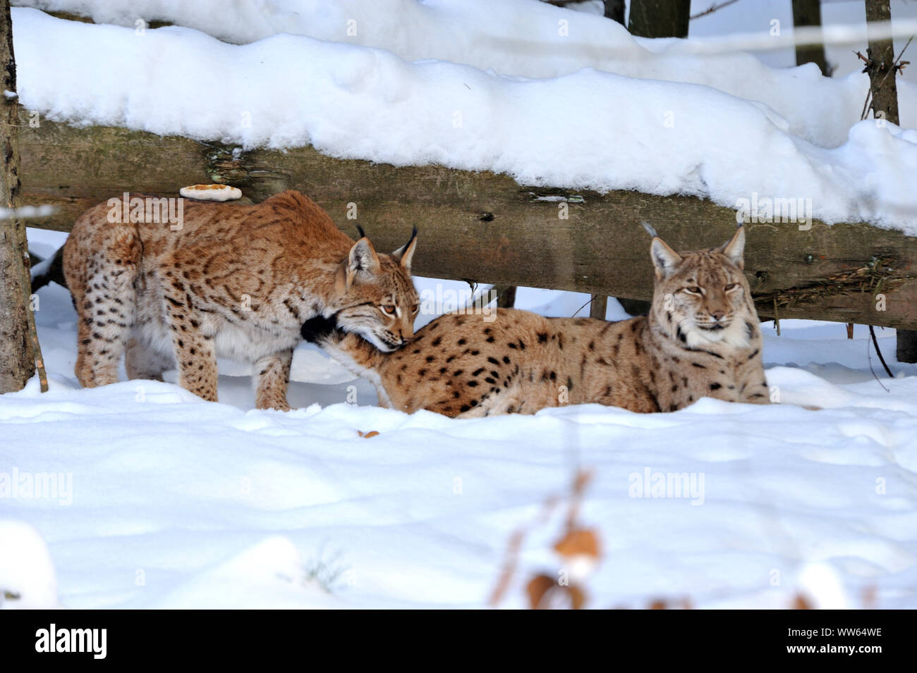 Eurasian lynxes in the snow, Lynx lynx Stock Photo