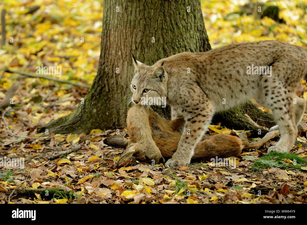 Eurasian lynx with prey, Lynx lynx Stock Photo