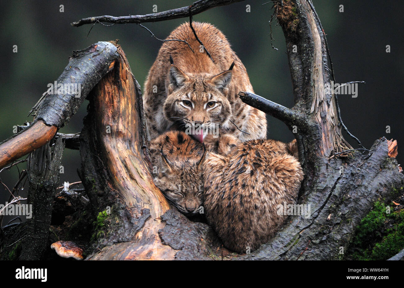 Eurasian lynx with young animals in the forest, Lynx lynx Stock Photo