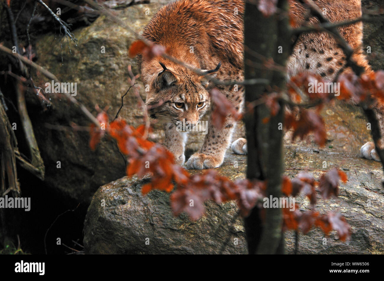 Eurasian lynx in the forest, Lynx lynx Stock Photo