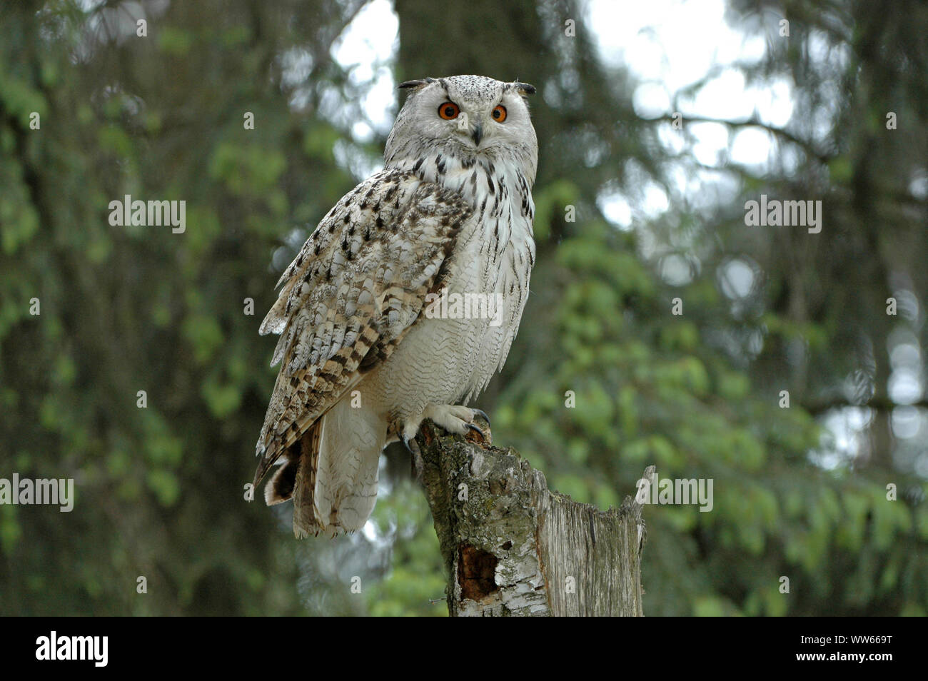 Siberian eagle-owl in the forest, bubo bubo sibiricus Stock Photo