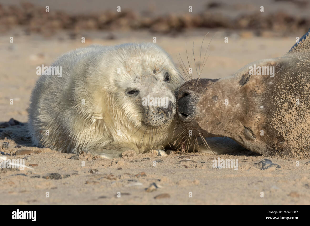 Atlantic Grey Seal mother and pup Stock Photo