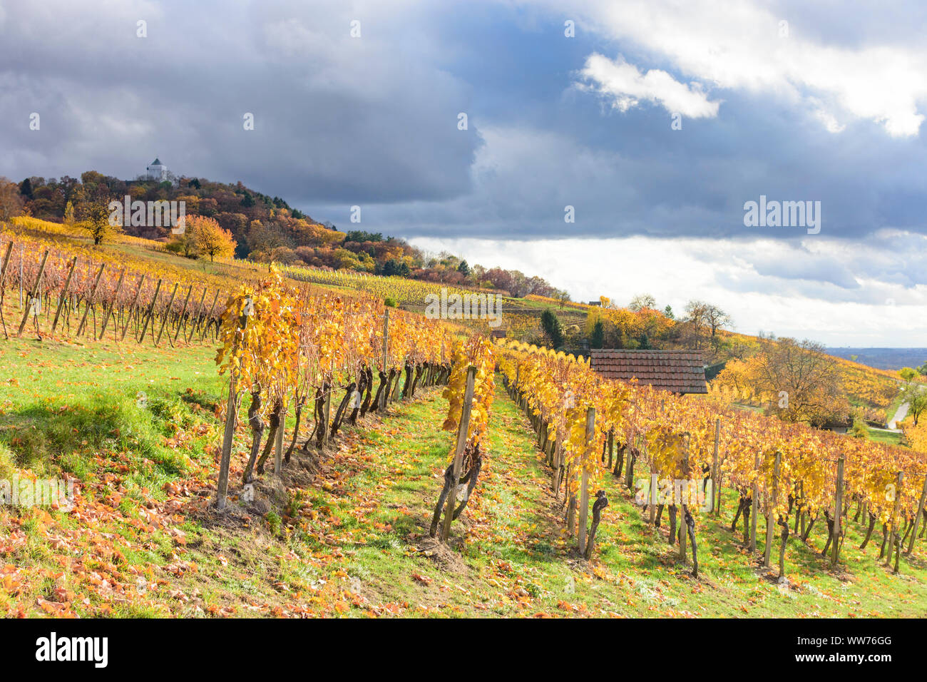 Heppenheim (Bergstraße), vineyard, vineyards of wine growing area Bergstrasse, castle Starkenburg, golden autumn, yellow vine leafs, hill, sunny in Bergstraße, Hessen, Hesse, Germany Stock Photo