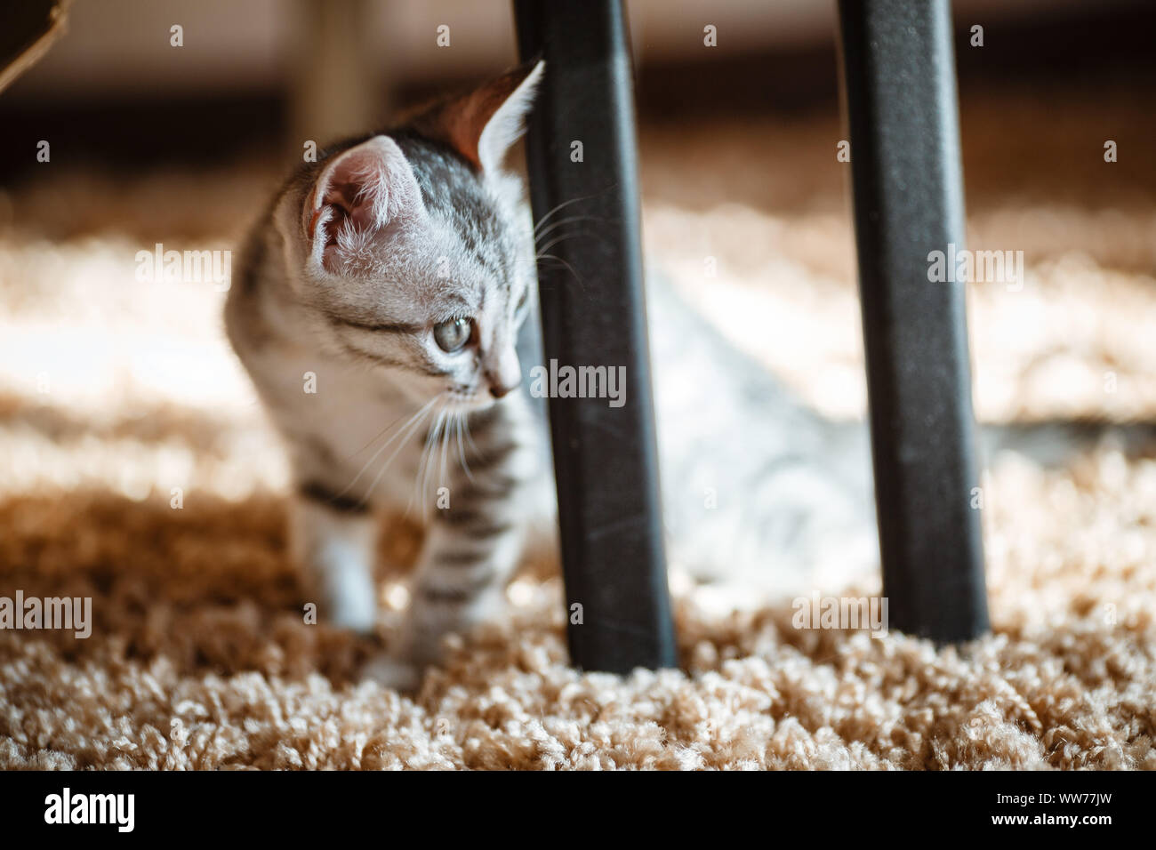 One month old and cute silver tabby of an American Shorthair kitten is looking at something specious with a little of sunshine Stock Photo