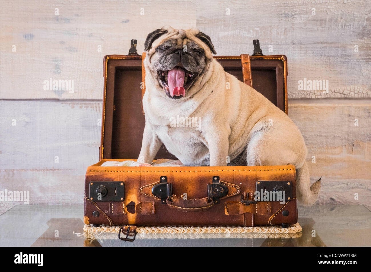 nice funny pug dog lazy sleep on the 24 hour luggage ready to travel but bored and tired with wall on the background. old vintage trolley and image, journey concept Stock Photo