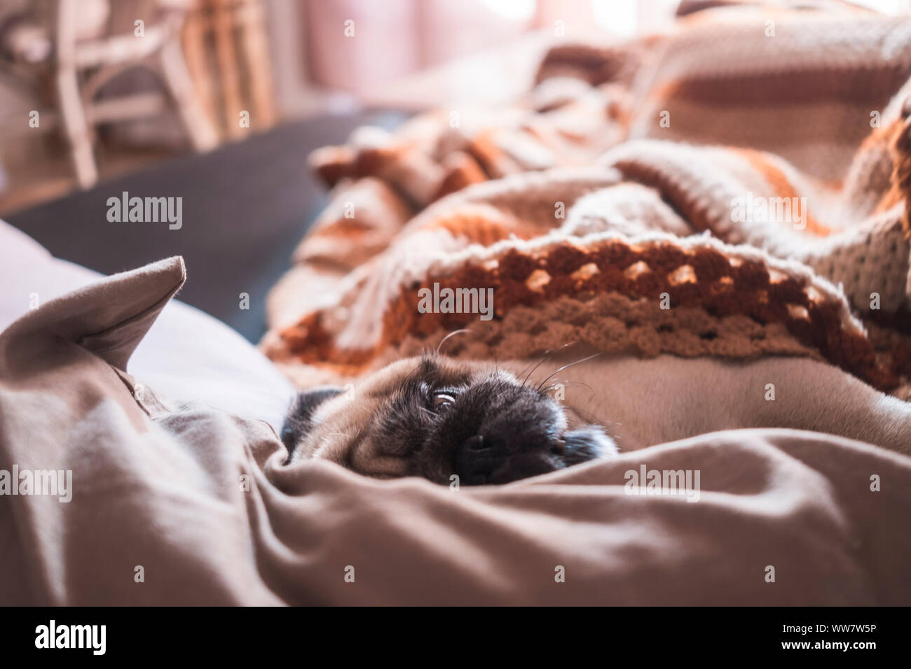 Funny nice pug dog sleep on the sofa at home with a morning backlight from a window. Lazy concept Stock Photo